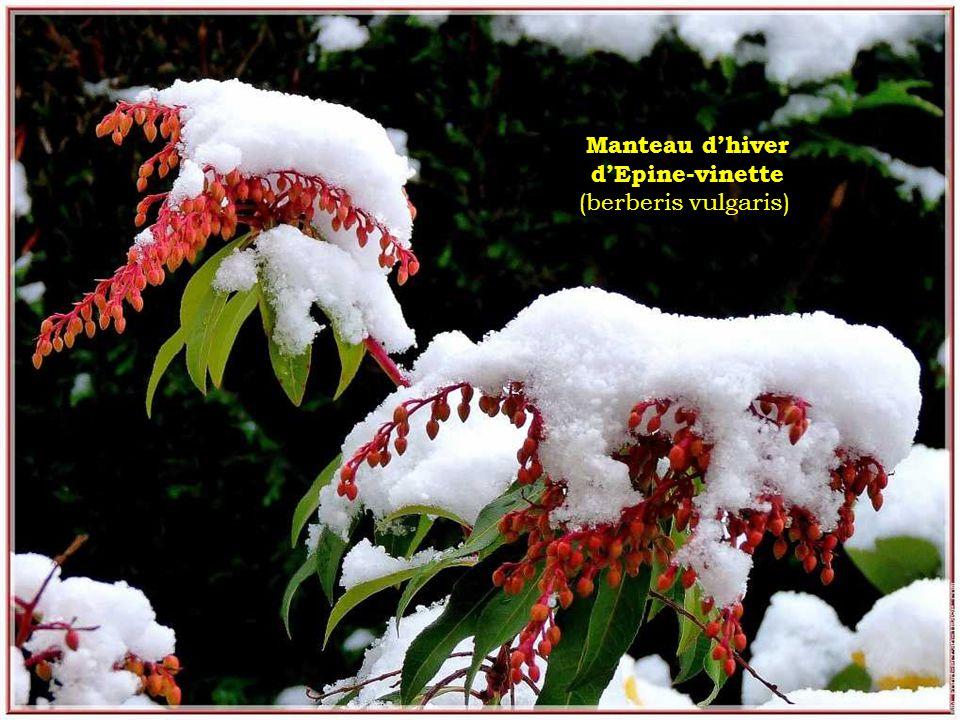 Manteau dhiver dEpine-vinette (berberis vulgaris)