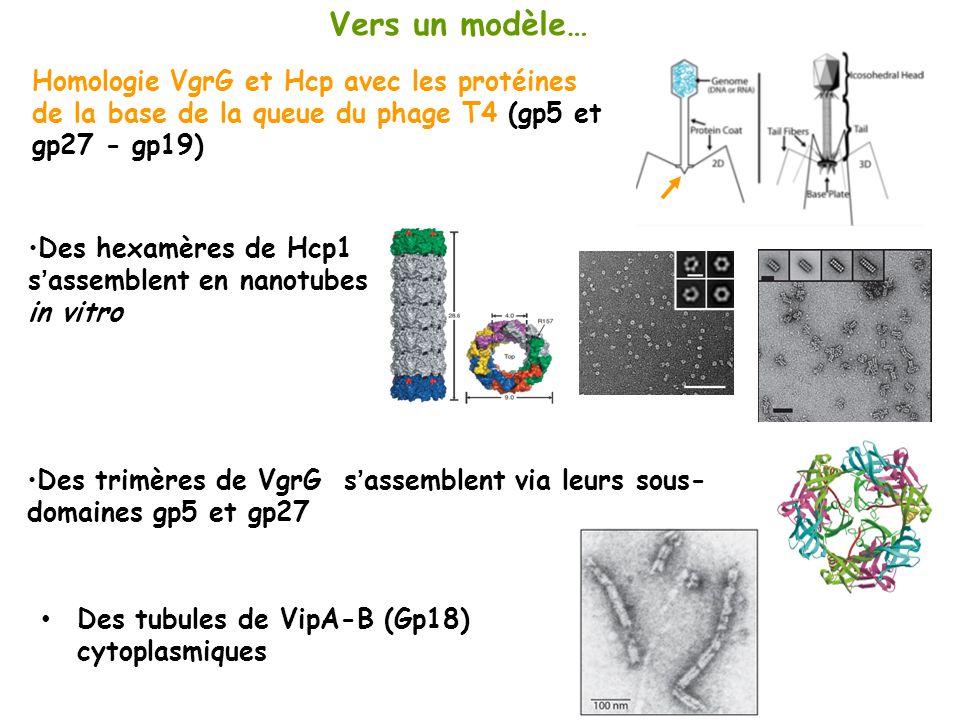 Vers un modèle… Homologie VgrG et Hcp avec les protéines de la base de la queue du phage T4 (gp5 et gp27 - gp19) Des hexamères de Hcp1 sassemblent en