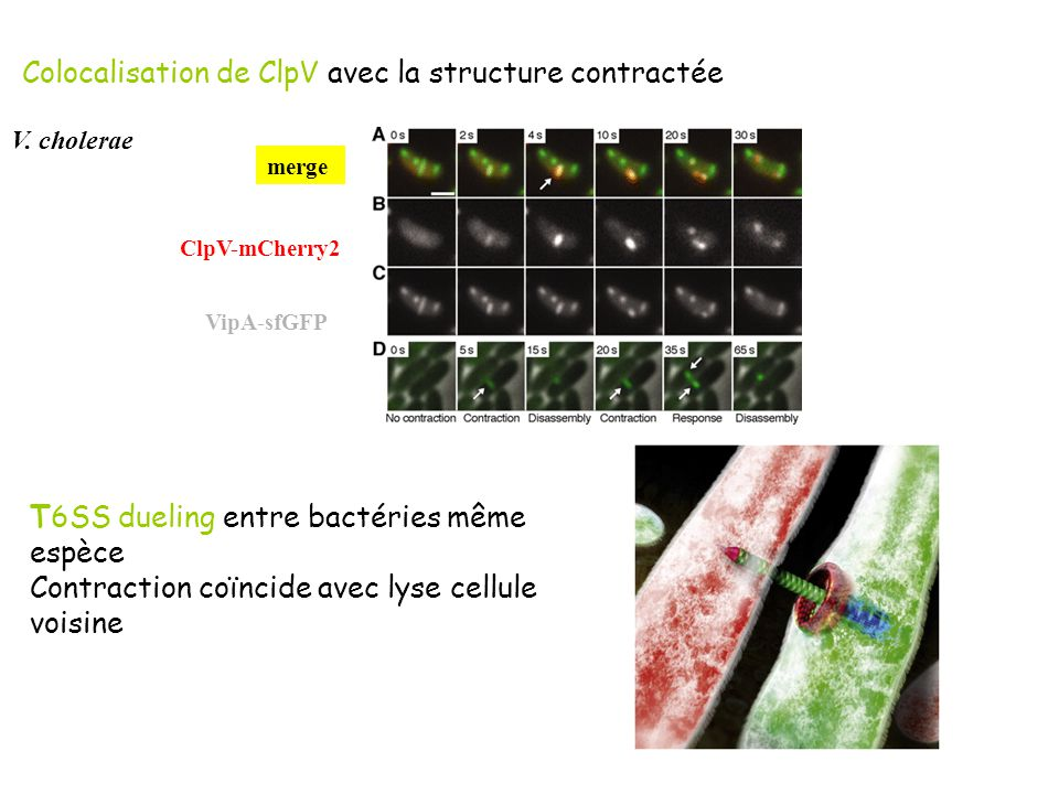 Colocalisation de ClpV avec la structure contractéeT6SS dueling entre bactéries même espèce Contraction coïncide avec lyse cellule voisine ClpV-mCherr