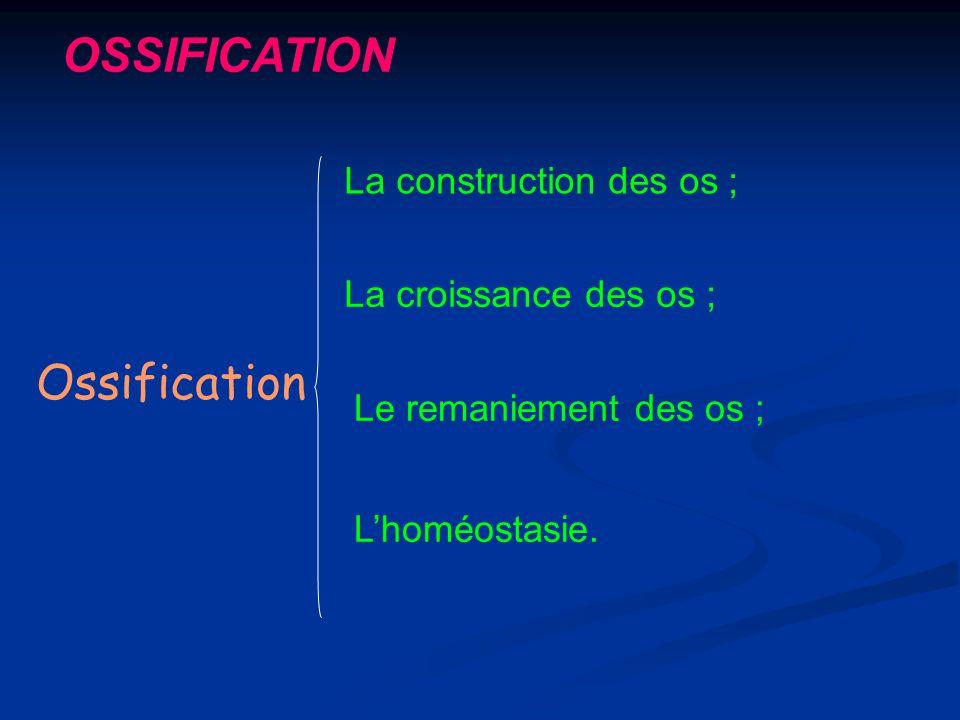 OSSIFICATION Ossification La construction des os ; La croissance des os ; Lhoméostasie. Le remaniement des os ;