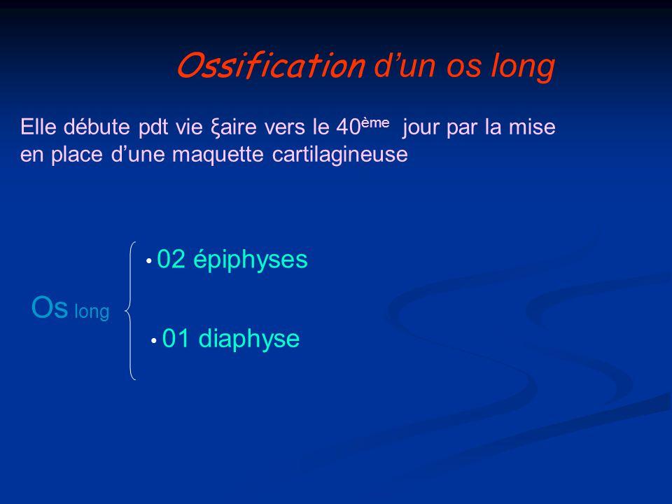 Ossification dun os long Elle débute pdt vie ξaire vers le 40 ème jour par la mise en place dune maquette cartilagineuse Os long 02 épiphyses 01 diaph