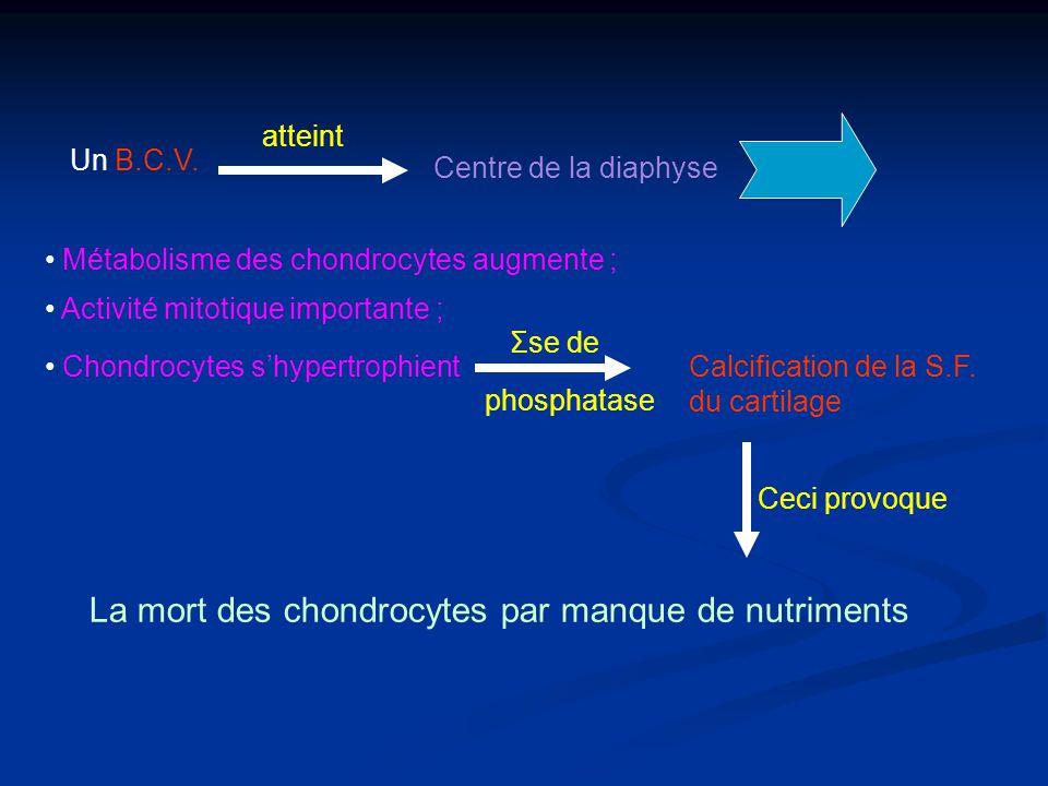 Un B.C.V. atteint Centre de la diaphyse Métabolisme des chondrocytes augmente ; Activité mitotique importante ; Chondrocytes shypertrophient Σse de ph