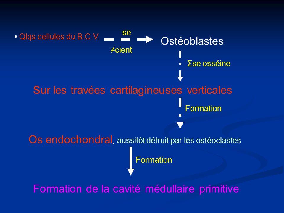 Qlqs cellules du B.C.V. se cient Ostéoblastes Σse osséine Sur les travées cartilagineuses verticales Formation Os endochondral, aussitôt détruit par l