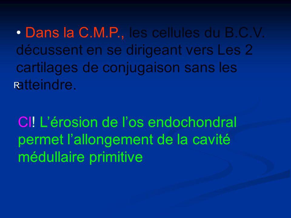 Dans la C.M.P., les cellules du B.C.V. décussent en se dirigeant vers Les 2 cartilages de conjugaison sans les atteindre. R Cl! Lérosion de los endoch