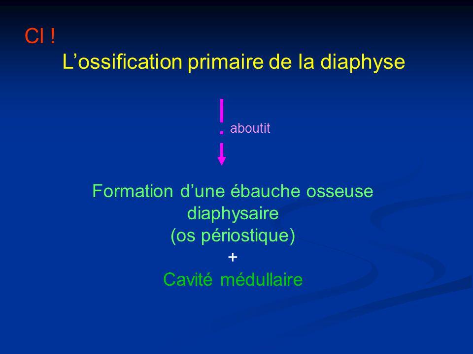 Cl ! Lossification primaire de la diaphyse Formation dune ébauche osseuse diaphysaire (os périostique) + Cavité médullaire aboutit
