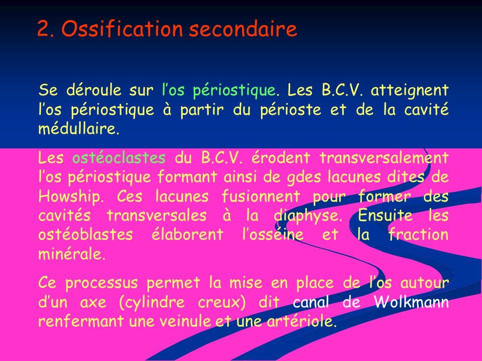 2. Ossification secondaire Se déroule sur los périostique. Les B.C.V. atteignent los périostique à partir du périoste et de la cavité médullaire. Les