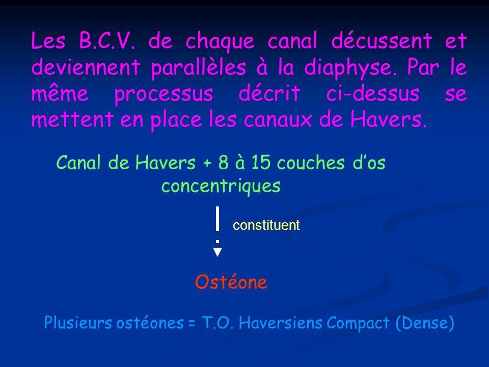 Les B.C.V. de chaque canal décussent et deviennent parallèles à la diaphyse. Par le même processus décrit ci-dessus se mettent en place les canaux de