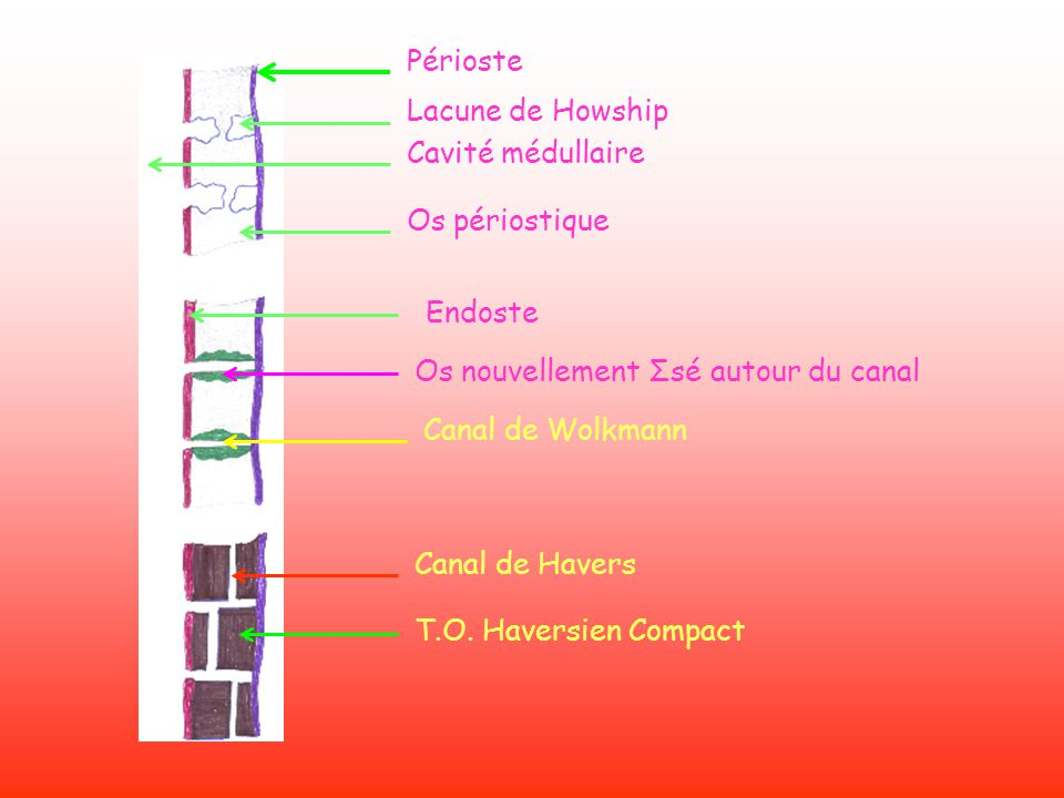 Périoste Lacune de Howship Cavité médullaire Os périostique Endoste Os nouvellement Σsé autour du canal Canal de Wolkmann Canal de Havers T.O. Haversi