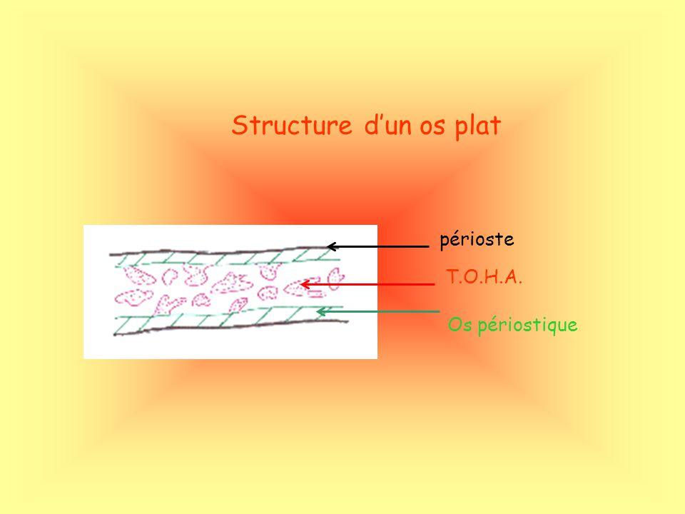 périoste T.O.H.A. Os périostique Structure dun os plat