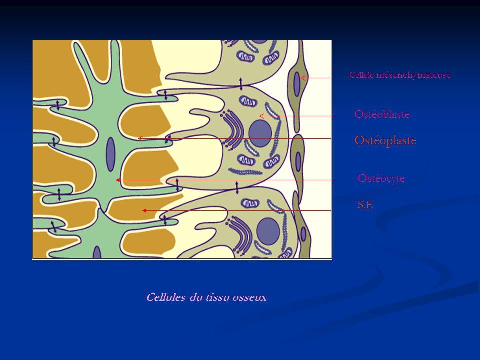 Cellule mésenchymateuse Ostéoblaste Ostéocyte Ostéoplaste S.F. Cellules du tissu osseux