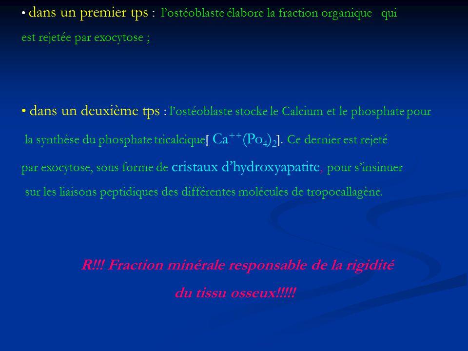 dans un premier tps : lostéoblaste élabore la fraction organique qui est rejetée par exocytose ; dans un deuxième tps : lostéoblaste stocke le Calcium