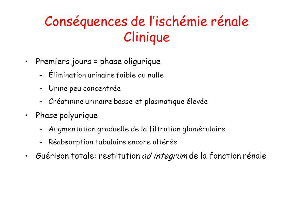 Conséquences de lischémie rénale Clinique Premiers jours = phase oligurique –Élimination urinaire faible ou nulle –Urine peu concentrée –Créatinine ur