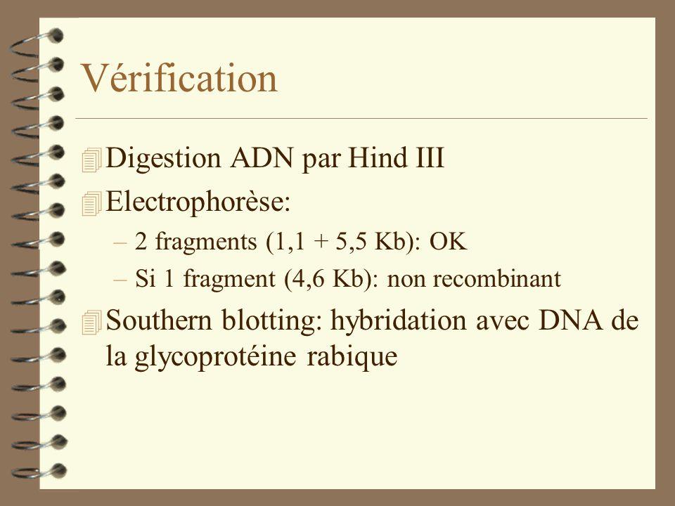 Vérification 4 Digestion ADN par Hind III 4 Electrophorèse: –2 fragments (1,1 + 5,5 Kb): OK –Si 1 fragment (4,6 Kb): non recombinant 4 Southern blotti