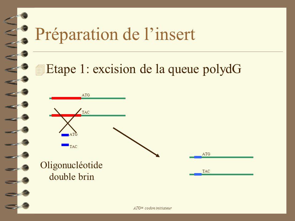 Préparation de linsert 4 Etape 1: excision de la queue polydG Oligonucléotide double brin ATG TAC ATG TAC ATG= codon initiateur
