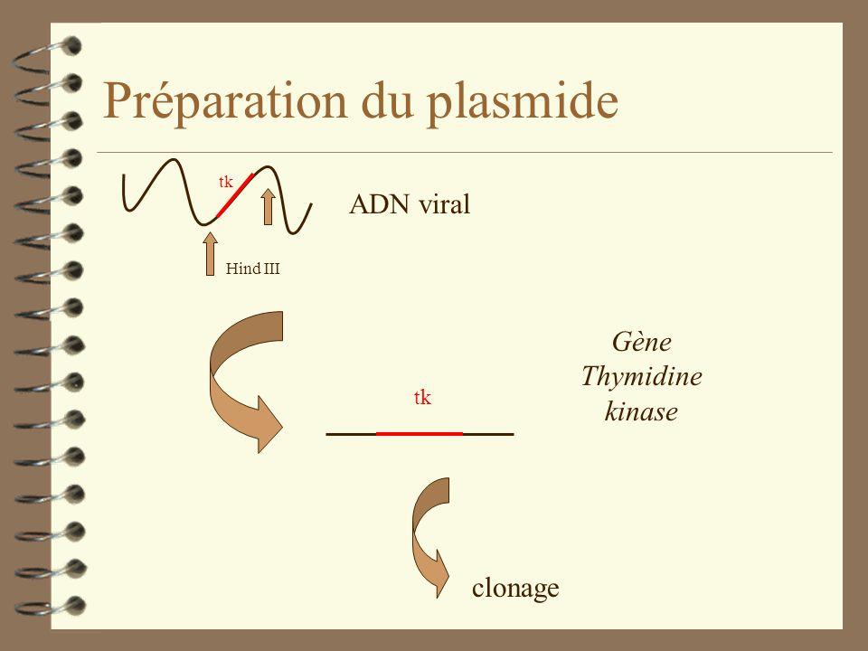 Préparation du plasmide Hind III tk clonage Gène Thymidine kinase ADN viral
