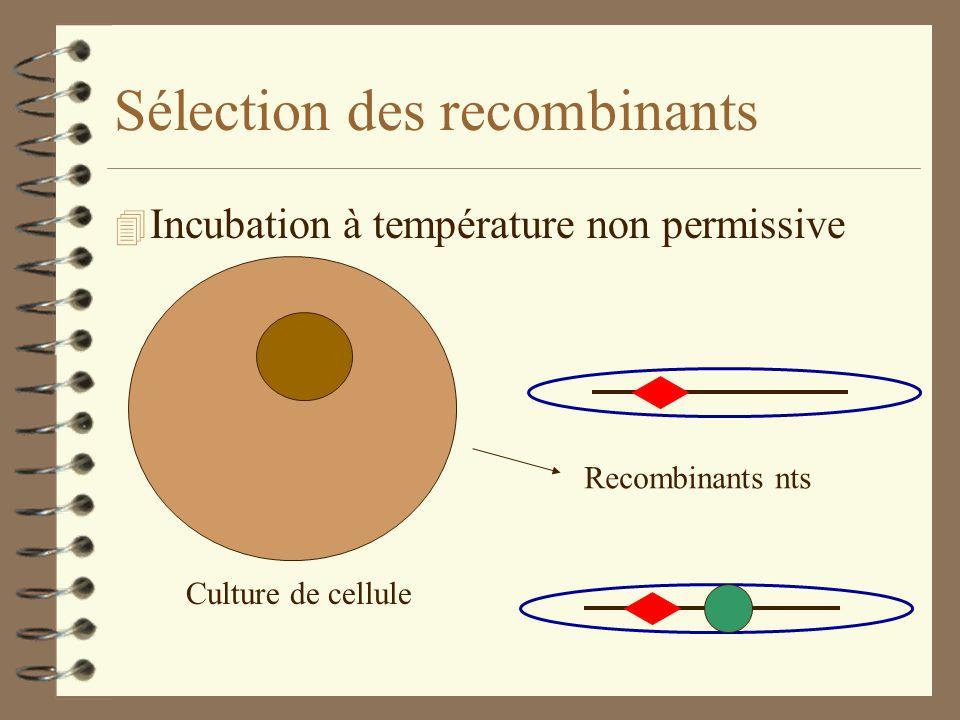 Sélection des recombinants 4 Culture sur cellules tk - Culture de cellule + BrdUrd Recombinants nts et tk- BrdUrd = substrat tk