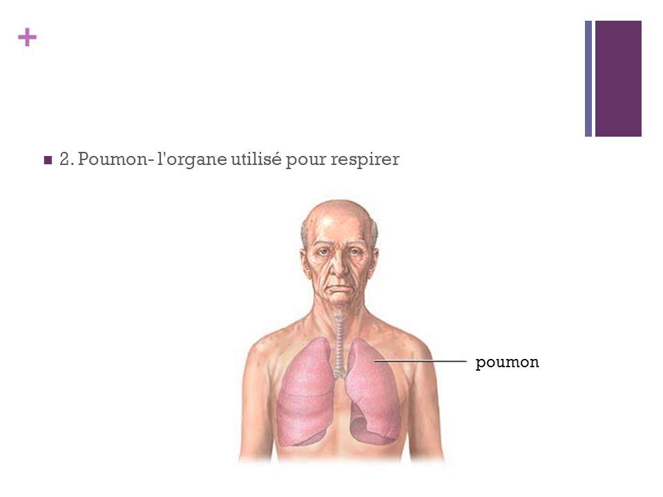 + 2. Poumon- l'organe utilisé pour respirer poumon