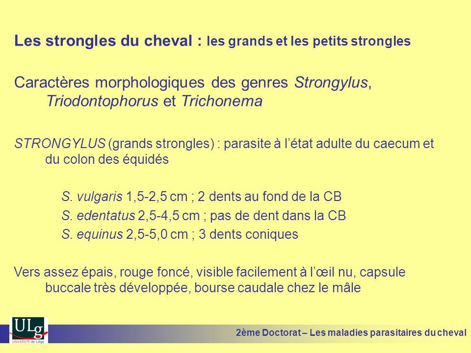 Les strongles du cheval : les grands et les petits strongles Caractères morphologiques des genres Strongylus, Triodontophorus et Trichonema STRONGYLUS