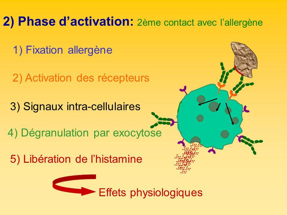 2) Phase dactivation: 2ème contact avec lallergène 2) Activation des récepteurs 3) Signaux intra-cellulaires 1) Fixation allergène 4) Dégranulation pa