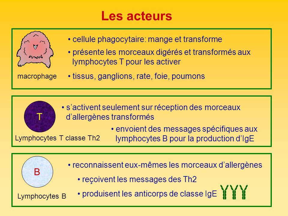 Immunoglobuline E (IgE) sérum, salive, sécrétions nasales, mastocytes et basophiles classe danticorps responsable des RHI anticorps spécifique pour une région de lallergène: épitope Mastocytes, basophiles basophiles: sang mastocytes: tissus déclenchent la cascade deffets physiologiques