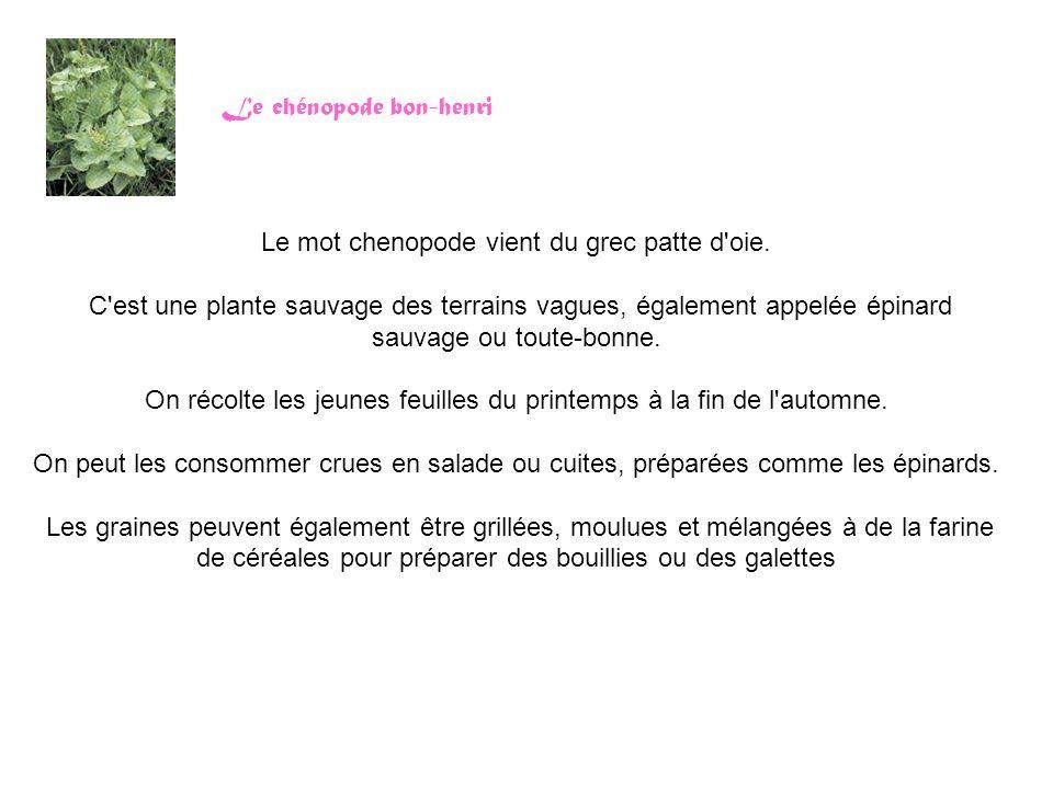 Le chénopode bon-henri Le mot chenopode vient du grec patte d'oie. C'est une plante sauvage des terrains vagues, également appelée épinard sauvage ou
