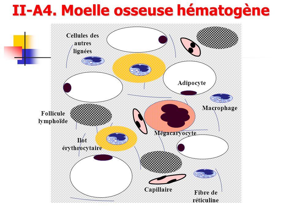 Mégacaryocyte Capillaire Adipocyte Follicule lymphoïde Fibre de réticuline Cellules des autres lignées Macrophage Ilot érythrocytaire II-A4. Moelle os