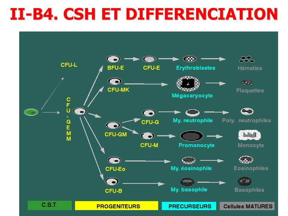 II-B4. CSH ET DIFFERENCIATION