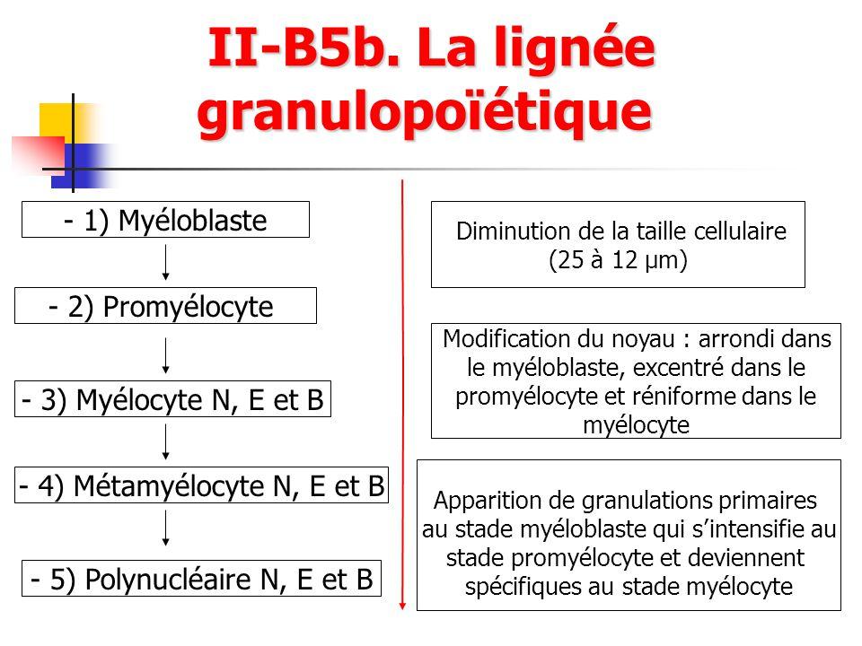 II-B5b. La lignée granulopoïétique II-B5b. La lignée granulopoïétique - 1) Myéloblaste - 2) Promyélocyte - 3) Myélocyte N, E et B - 4) Métamyélocyte N