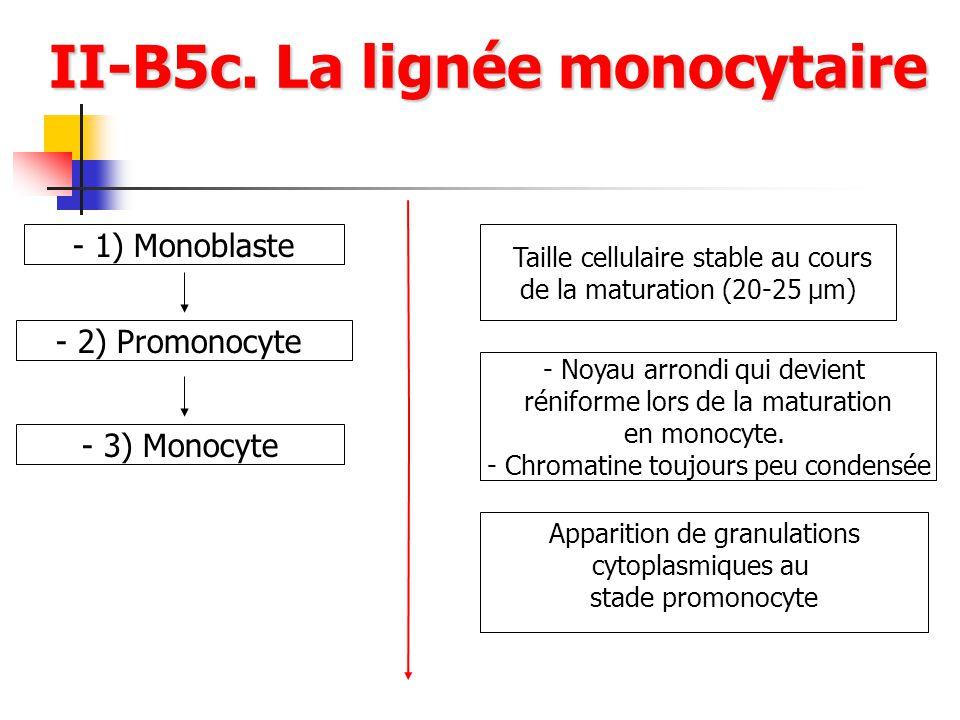 II-B5c. La lignée monocytaire II-B5c. La lignée monocytaire - 1) Monoblaste - 2) Promonocyte - 3) Monocyte Taille cellulaire stable au cours de la mat