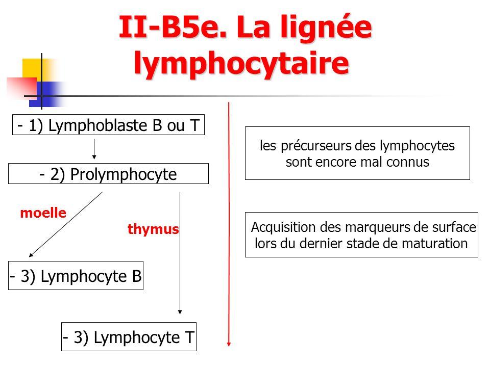 II-B5e. La lignée lymphocytaire II-B5e. La lignée lymphocytaire - 1) Lymphoblaste B ou T - 2) Prolymphocyte les précurseurs des lymphocytes sont encor