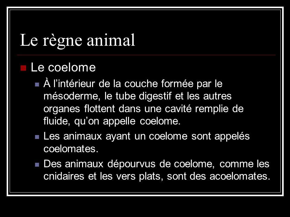 Le règne animal Le coelome À lintérieur de la couche formée par le mésoderme, le tube digestif et les autres organes flottent dans une cavité remplie de fluide, quon appelle coelome.