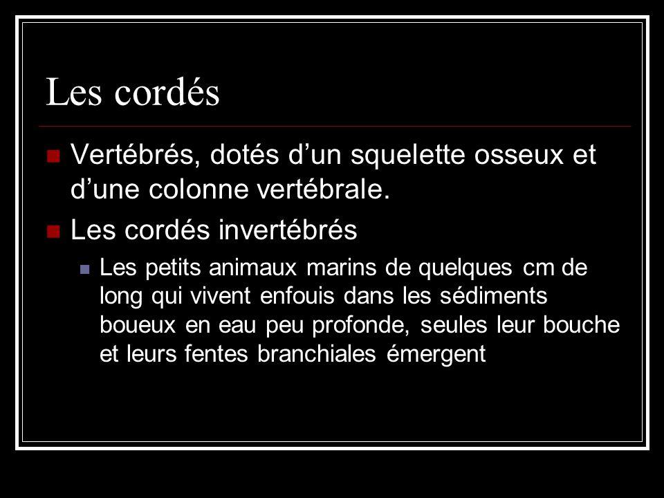 Les cordés Vertébrés, dotés dun squelette osseux et dune colonne vertébrale.