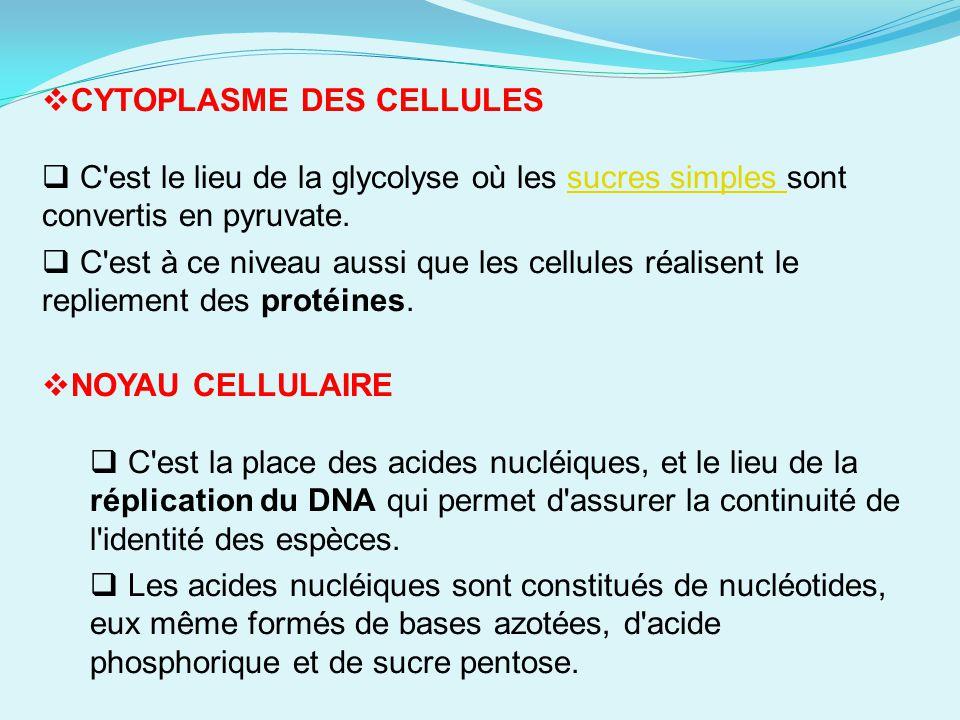 CYTOPLASME DES CELLULES C'est le lieu de la glycolyse où les sucres simples sont convertis en pyruvate.sucres simples C'est à ce niveau aussi que les