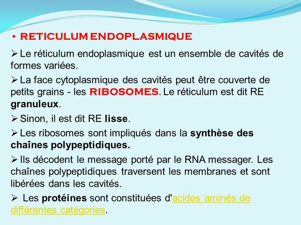 RETICULUM ENDOPLASMIQUE Le réticulum endoplasmique est un ensemble de cavités de formes variées. La face cytoplasmique des cavités peut être couverte