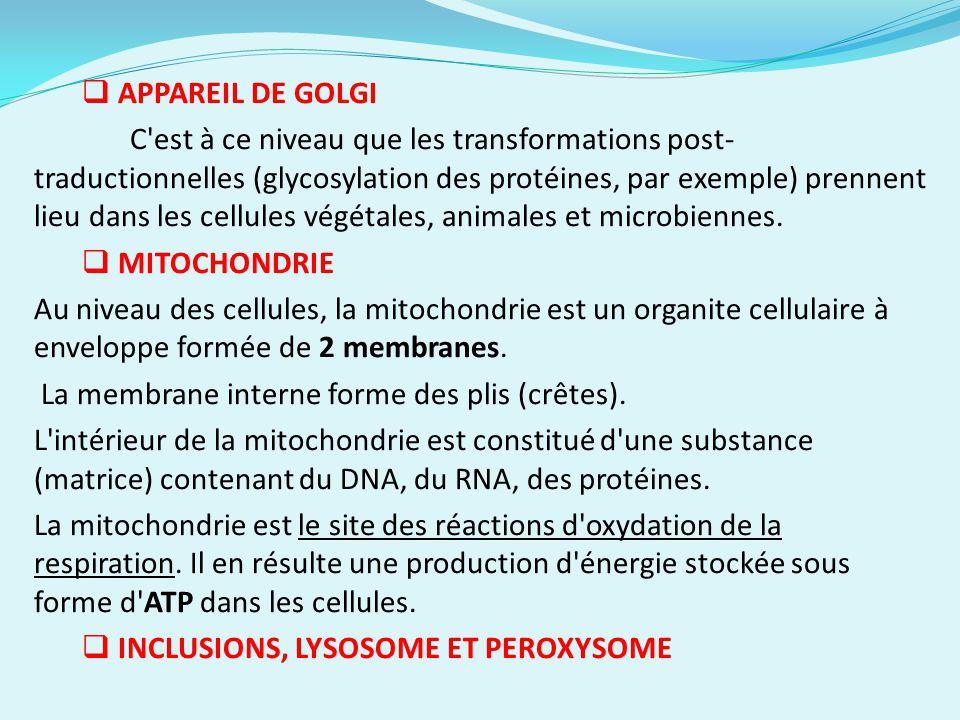 APPAREIL DE GOLGI C'est à ce niveau que les transformations post- traductionnelles (glycosylation des protéines, par exemple) prennent lieu dans les c