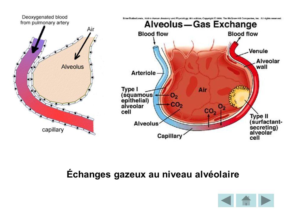 Échanges gazeux au niveau alvéolaire