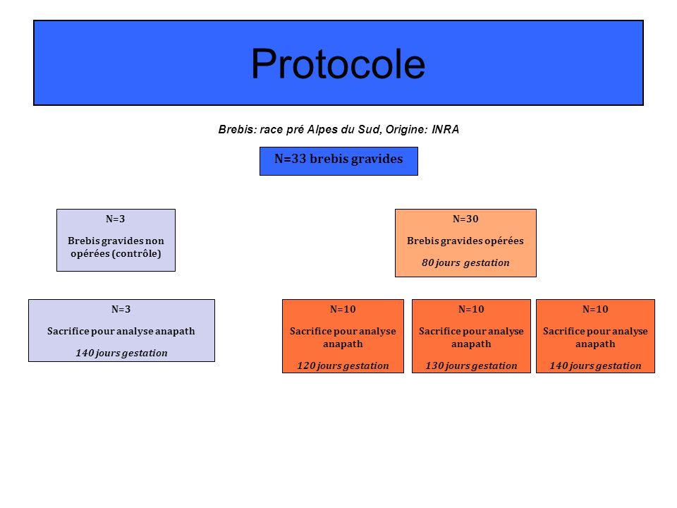 Protocole Brebis: race pré Alpes du Sud, Origine: INRA N=33 brebis gravides N=3 Brebis gravides non opérées (contrôle) N=30 Brebis gravides opérées 80
