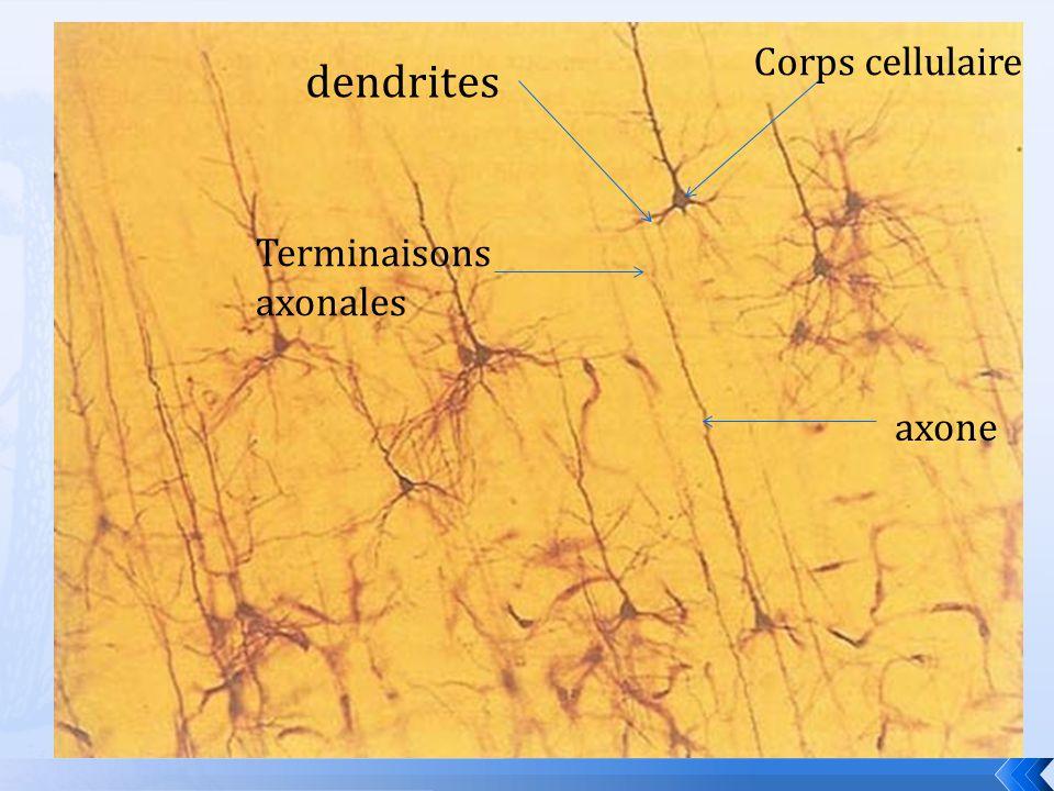 dendrites Corps cellulaire axone Terminaisons axonales