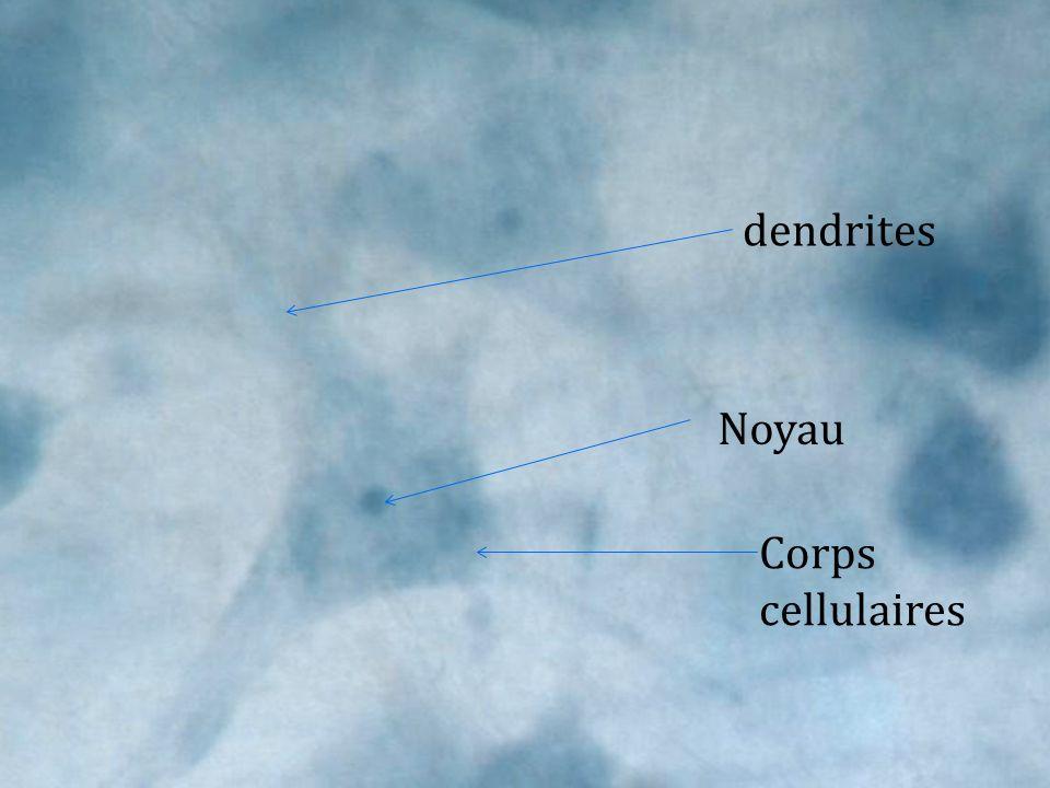 Corps cellulaires Noyau dendrites