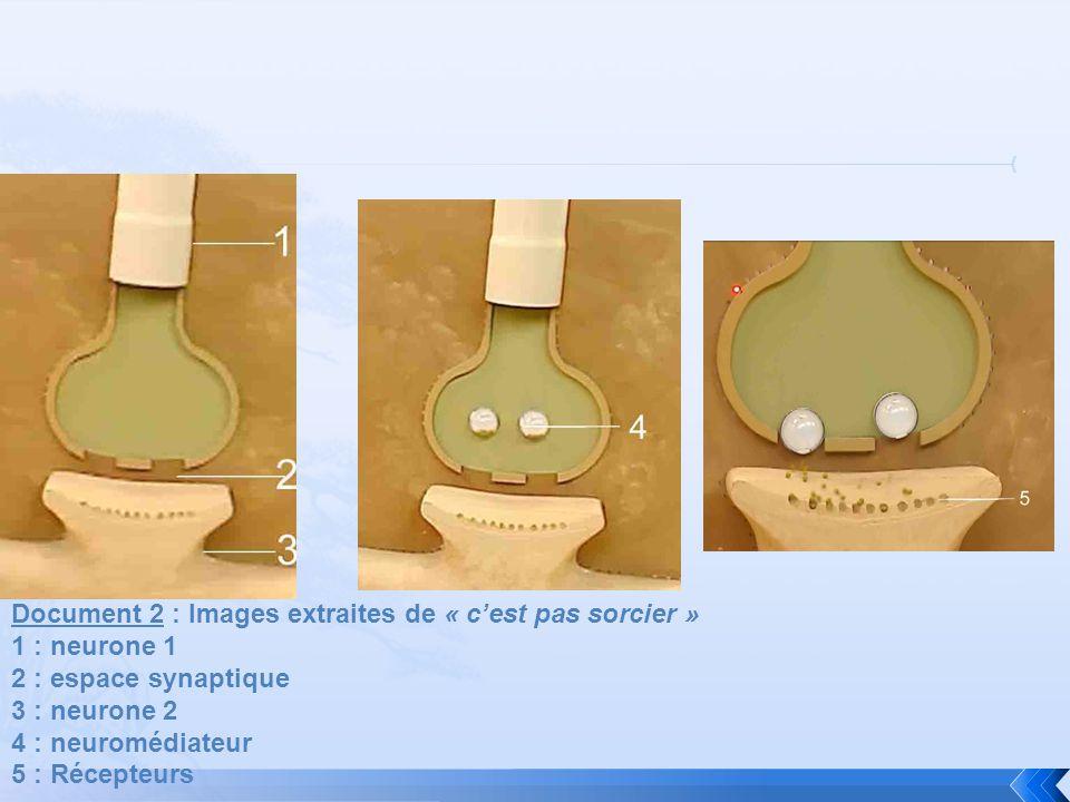 Document 2 : Images extraites de « cest pas sorcier » 1 : neurone 1 2 : espace synaptique 3 : neurone 2 4 : neuromédiateur 5 : Récepteurs