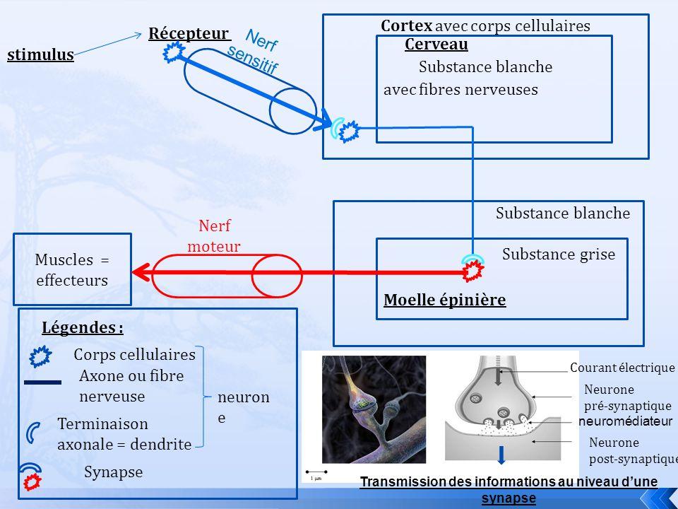 stimulus Récepteur Cerveau Cortex avec corps cellulaires Substance blanche Substance grise Moelle épinière avec fibres nerveuses Muscles = effecteurs Nerf sensitif Nerf moteur Corps cellulaires Axone ou fibre nerveuse Légendes : Terminaison axonale = dendrite Synapse Courant électrique Neurone pré-synaptique neuromédiateur Neurone post-synaptique Transmission des informations au niveau dune synapse neuron e