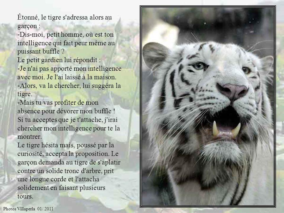 Survint le tigre, qui en ce temps-là n'avait pas de rayures sur sa robe. Le féroce animal s'étonna de l'obéissance du puissant buffle que lui-même cra