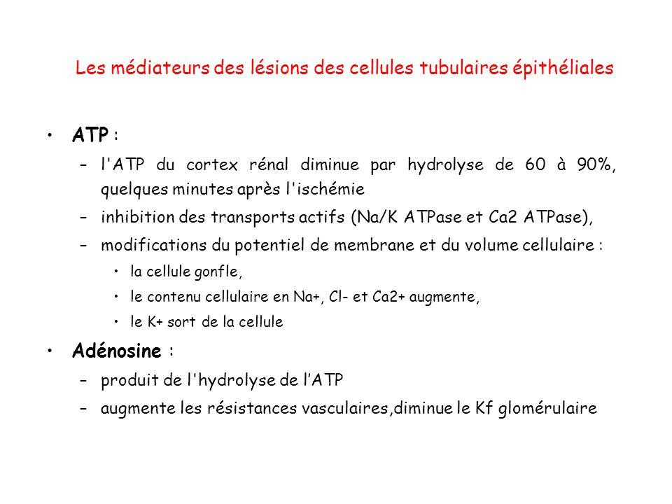 Les médiateurs des lésions des cellules tubulaires épithéliales ATP : –l ATP du cortex rénal diminue par hydrolyse de 60 à 90%, quelques minutes après l ischémie –inhibition des transports actifs (Na/K ATPase et Ca2 ATPase), –modifications du potentiel de membrane et du volume cellulaire : la cellule gonfle, le contenu cellulaire en Na+, Cl- et Ca2+ augmente, le K+ sort de la cellule Adénosine : –produit de l hydrolyse de lATP –augmente les résistances vasculaires,diminue le Kf glomérulaire