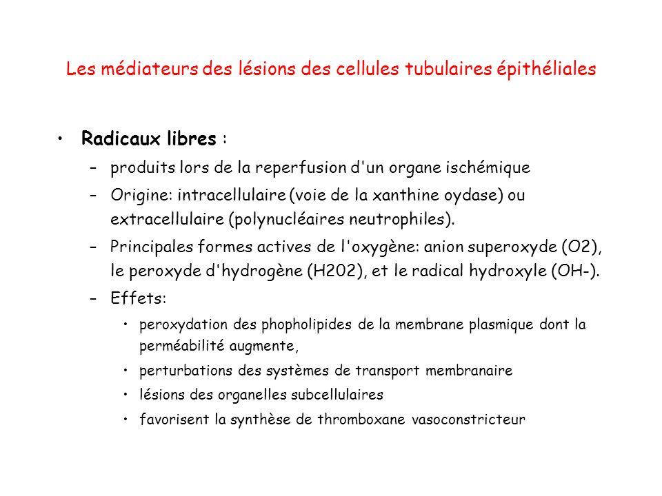 Les médiateurs des lésions des cellules tubulaires épithéliales Radicaux libres : –produits lors de la reperfusion d un organe ischémique –Origine: intracellulaire (voie de la xanthine oydase) ou extracellulaire (polynucléaires neutrophiles).