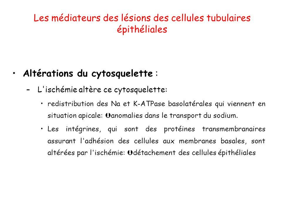 Les médiateurs des lésions des cellules tubulaires épithéliales Altérations du cytosquelette : – L ischémie altère ce cytosquelette: redistribution des Na et K-ATPase basolatérales qui viennent en situation apicale: anomalies dans le transport du sodium.