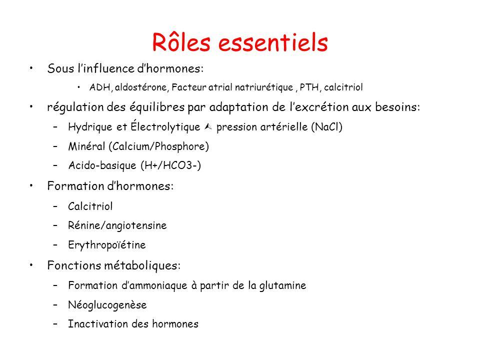 Rôles essentiels Sous linfluence dhormones: ADH, aldostérone, Facteur atrial natriurétique, PTH, calcitriol régulation des équilibres par adaptation de lexcrétion aux besoins: –Hydrique et Électrolytique pression artérielle (NaCl) –Minéral (Calcium/Phosphore) –Acido-basique (H+/HCO3-) Formation dhormones: –Calcitriol –Rénine/angiotensine –Erythropoïétine Fonctions métaboliques: –Formation dammoniaque à partir de la glutamine –Néoglucogenèse –Inactivation des hormones