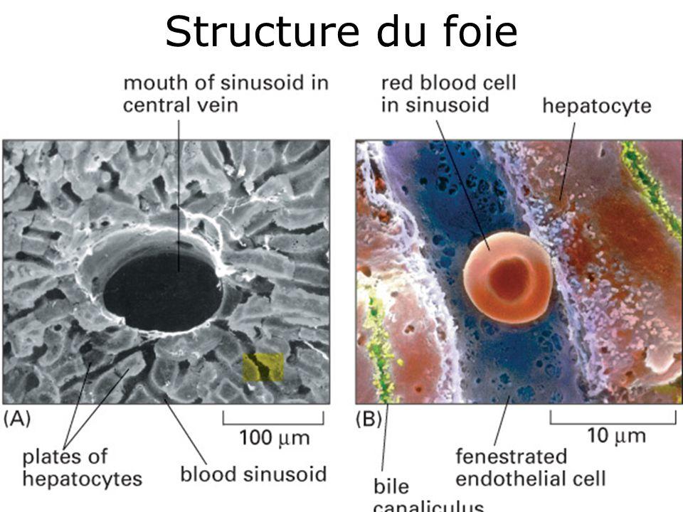 18 Structure du foie