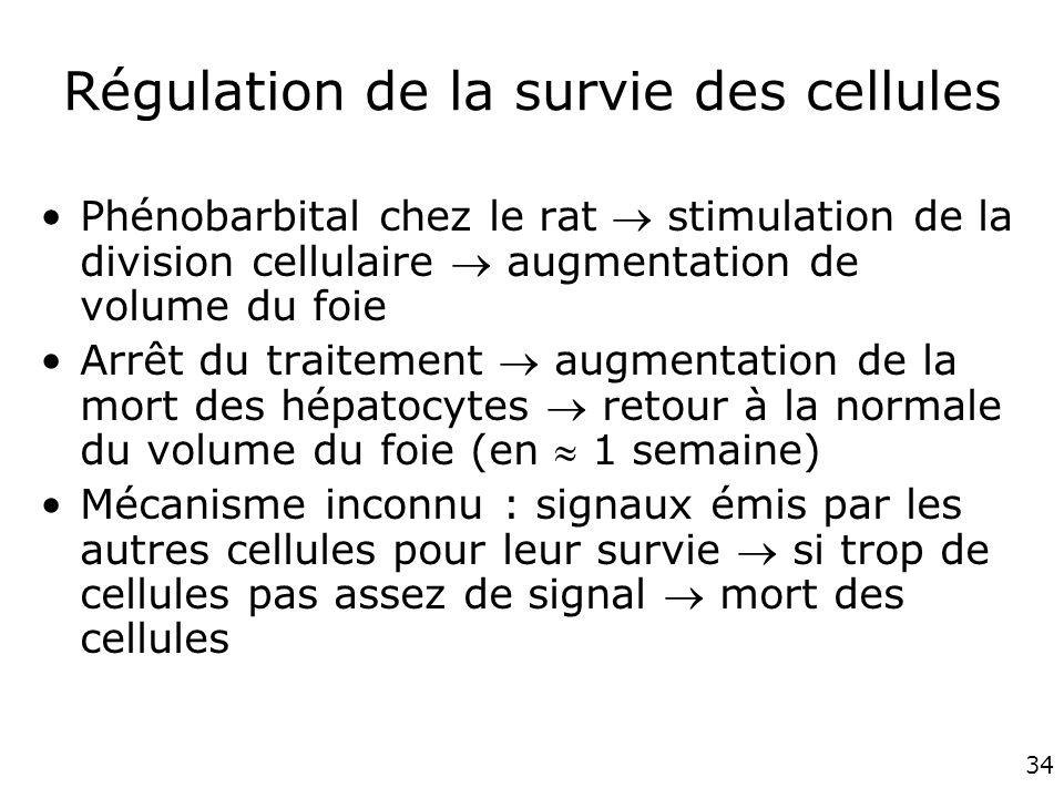 34 Régulation de la survie des cellules Phénobarbital chez le rat stimulation de la division cellulaire augmentation de volume du foie Arrêt du traite