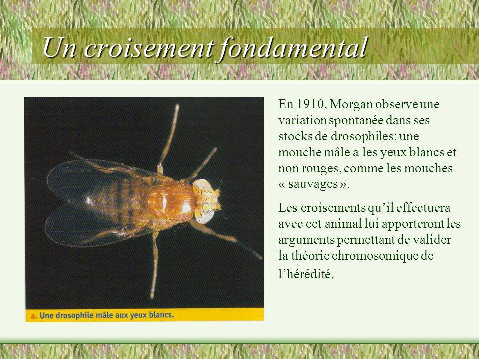 HORION Hervé Lycée Maupassant FECAMP Cest grâce à ces travaux que jai validé la « théorie chromosomique de lhérédité ».Cest se quon appelle aujourdhui lhérédité liée au sexe.
