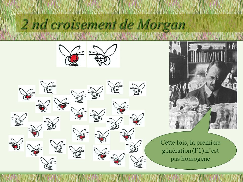 2 nd croisement de Morgan En y regardant de plus près, il y a une répartition particulière… Toutes les femelles ont les yeux rouges et tous les mâles ont les yeux blancs Le phénotype varie en fonction du sexe